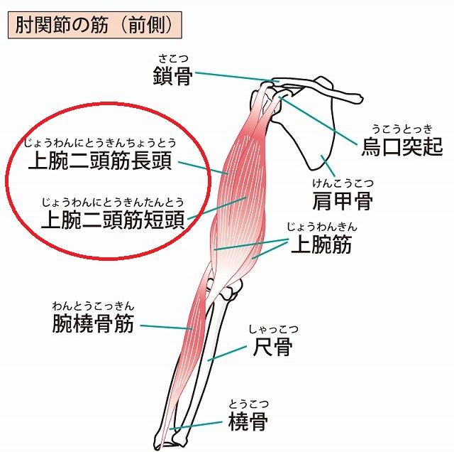 上腕二頭筋の場所の画像