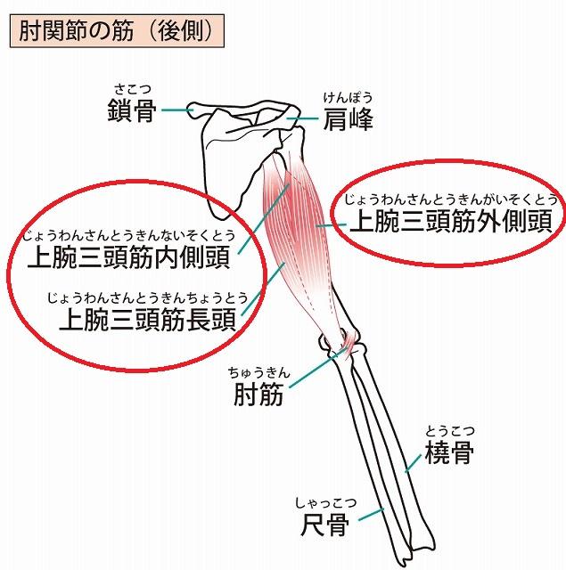 上腕三頭筋の場所の画像